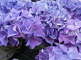Hydrangea Growing Guide